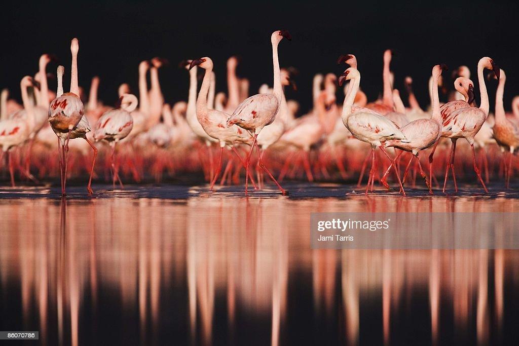 Lesser flamingos ( Phoenicopterus ruber), Lake Nakuru, Kenya : Foto de stock