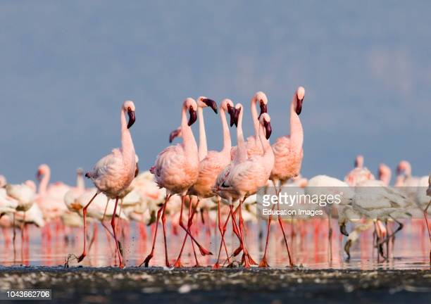 Lesser Flamingos Phoeniconaias minor group in display Lake Nakuru Rift Valley Kenya