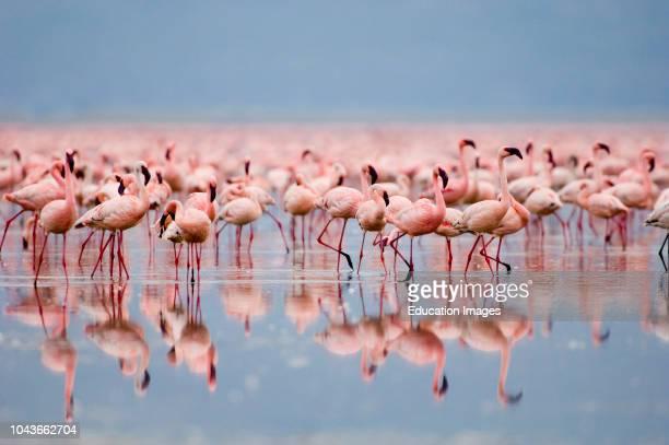 Lesser Flamingos Phoeniconaias minor Lake Nakuru Kenya
