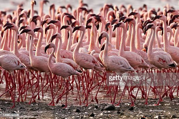 lesser flamingos - large group of animals stock pictures, royalty-free photos & images