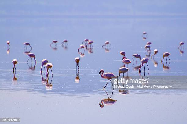 lesser flamingos - lake nakuru - fotografias e filmes do acervo