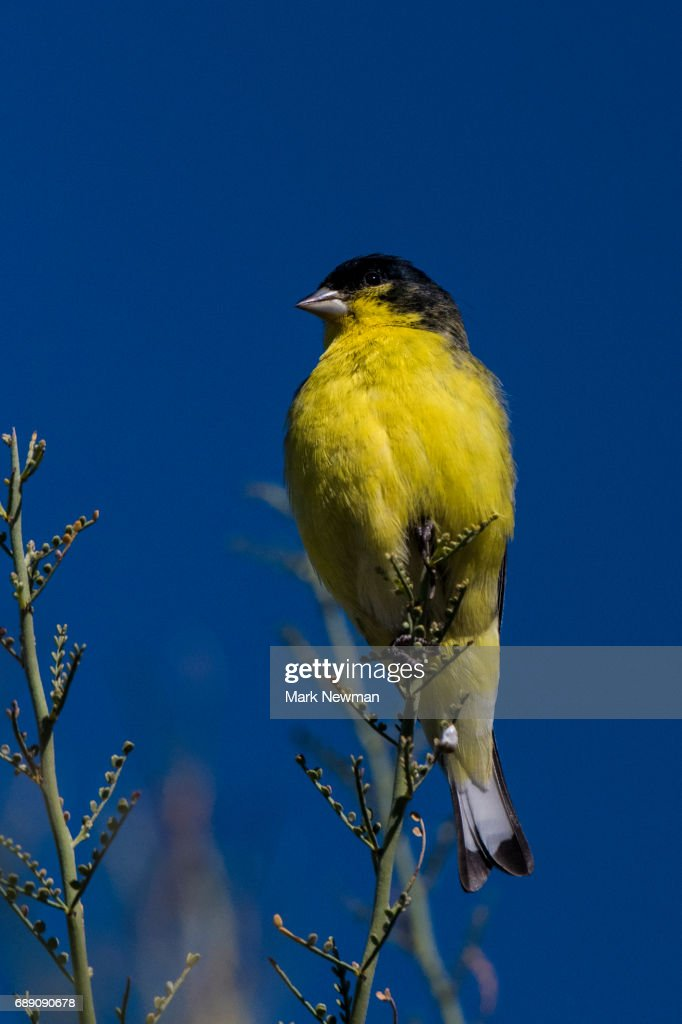 Lesser Goldfinch : Stock Photo