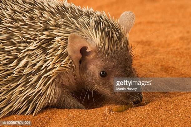 Lesser Hedgehog Tenrec (Echinops telfairi), close-up