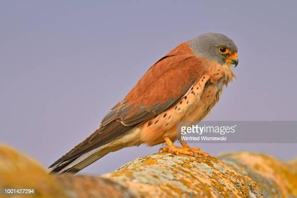 Lesser kestrel (Falco naumanni)