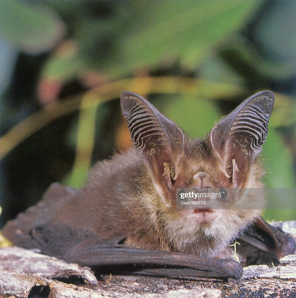 Lesser Long-eared Bat (Nyctophilus geoffroyi) Tasmanie, Australie.