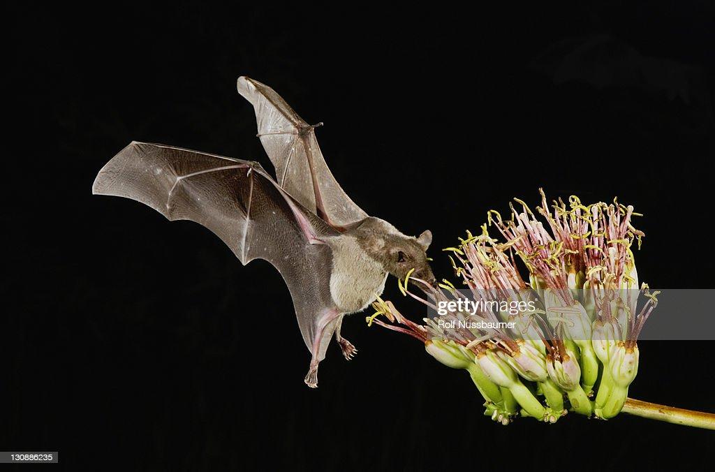 Lesser Long-nosed Bat (Leptonycteris curasoae), adult in flight at night feeding on Agave blossom (Agave sp.), Tucson, Sonoran desert, Arizona, USA : Stock Photo