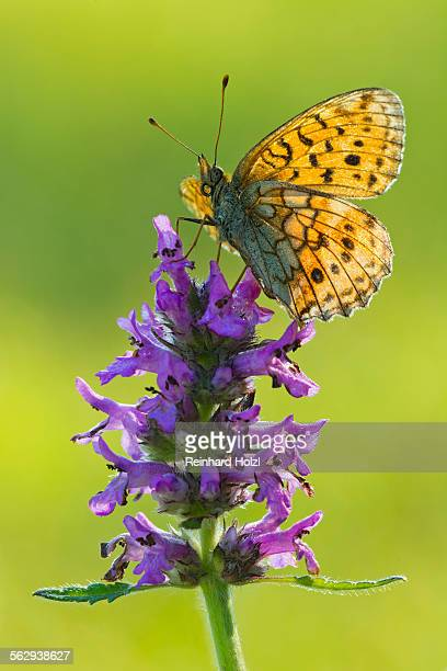 lesser marbled fritillary -brenthis ino-, tyrol, austria - animal digestive system stock photos and pictures