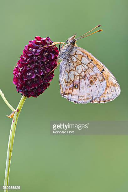 Lesser Marbled Fritillary -Brenthis ino-, Tyrol, Austria