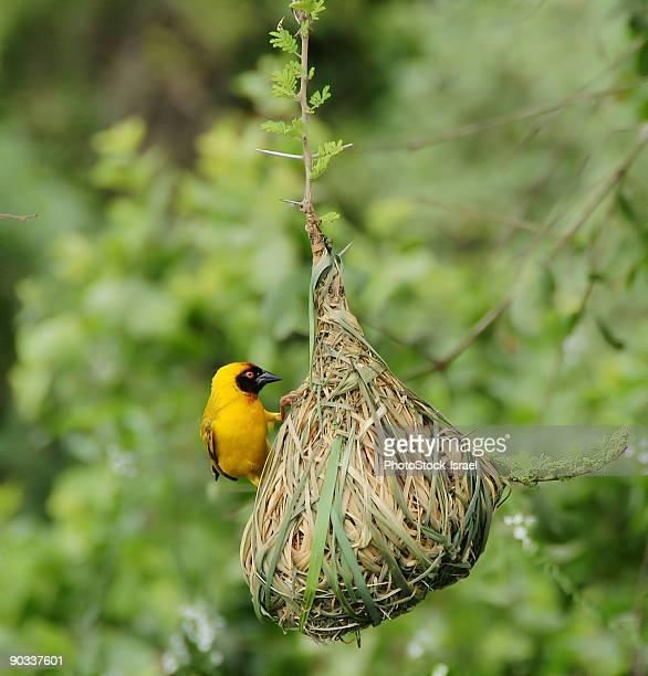 Lesser Masked Weaver near it's nest