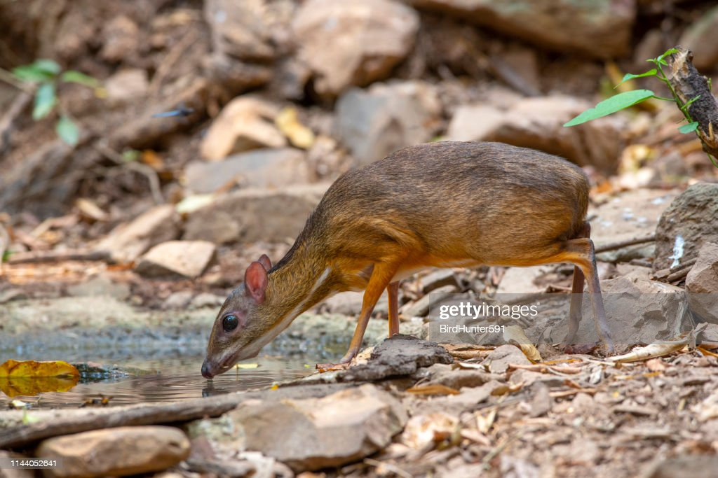 lesser mouse deer in the forest : Stock Photo