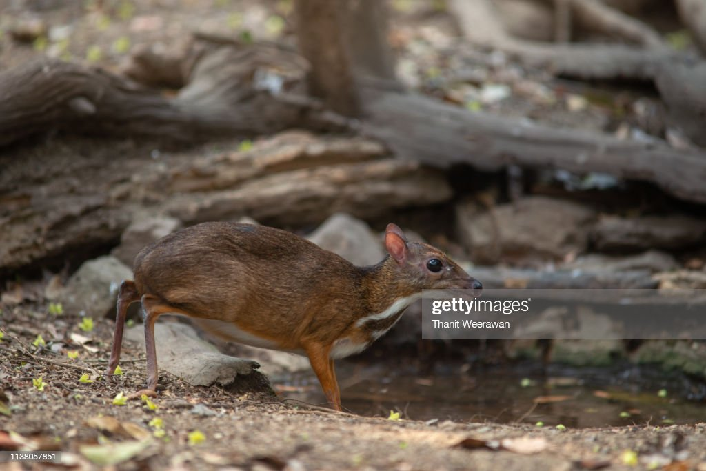 Lesser Mouse-deer drinking water in the jungle : Stock Photo