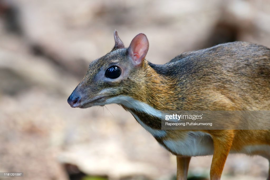 Lesser mouse-deer Tragulus kanchil in the forest : Stock Photo