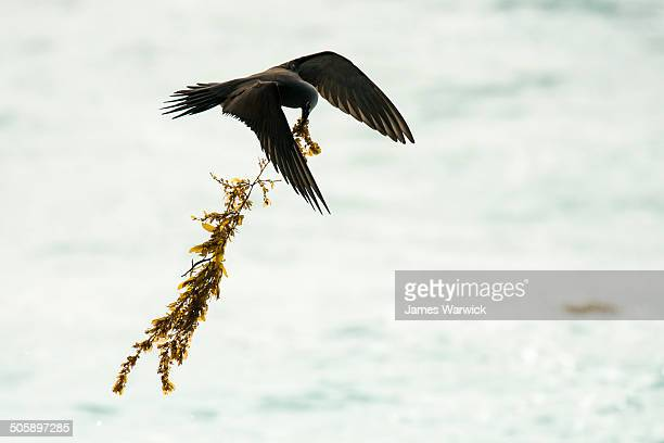 Lesser noddy carrying seaweed back to nest