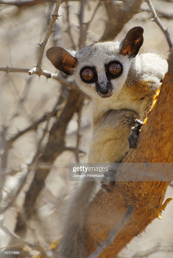Lesser Or Senegal Bushbaby Galago Senegalensis High-Res ...