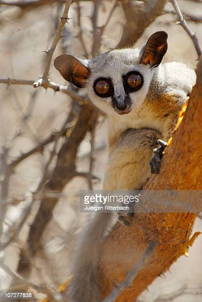 lesser or senegal bushbaby, galago senegalensis - bush baby stock photos and pictures