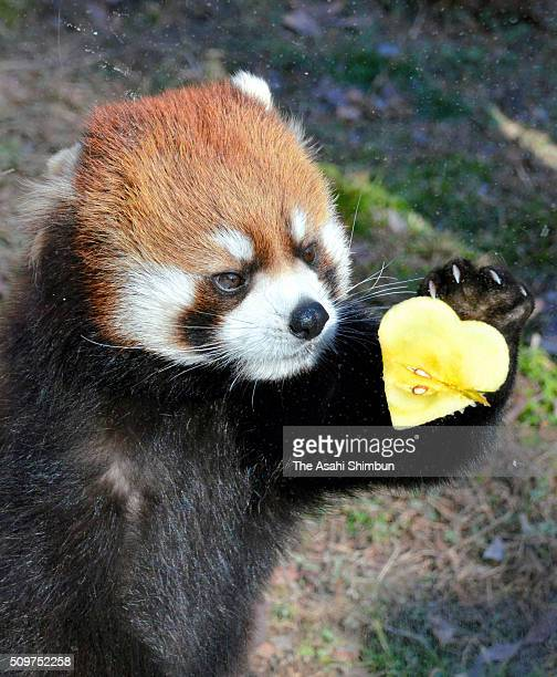A lesser panda holds a heart shaped cut fruit ahead of the Valentine's Day at the Tennoji Zoo on February 11 2016 in Osaka Japan