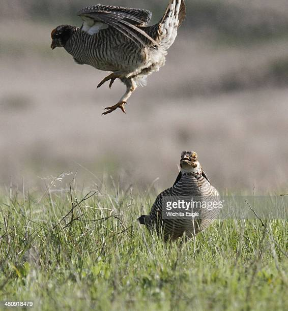 Lesser prairie chicken males fight for territory at a lek in Edwards County Kan The federal government designates the lesser prairiechicken as...