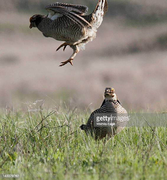 Lesser prairie chicken males fight for territory in Edwards County Despite many annual weeks of displaying and competition few of the birds get to...