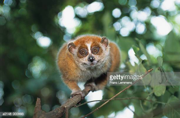 lesser slow loris - son la province stock pictures, royalty-free photos & images