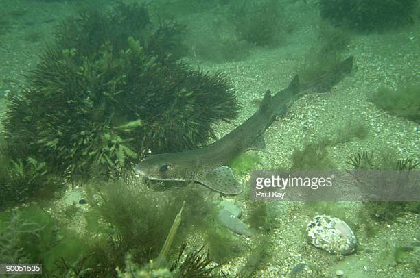 lesser spotted dogfish: scyliorhinus canicula  north wales, u.k. - dogfish stock pictures, royalty-free photos & images