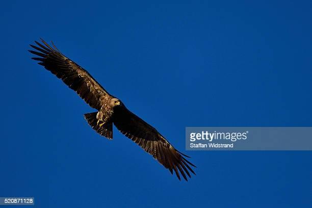 Lesser spotted eagle, Aquila pomarina