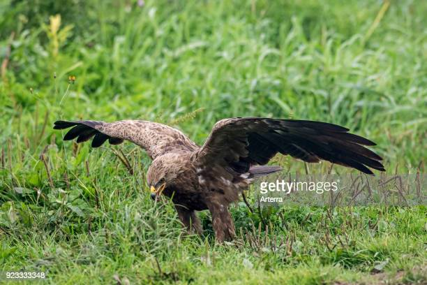 Lesser spotted eagle calling in meadow with spread wings