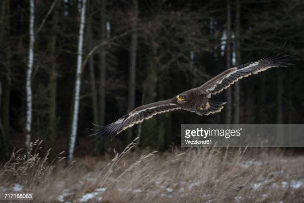 Lesser spotted eagle, Clanga pomarina, in field