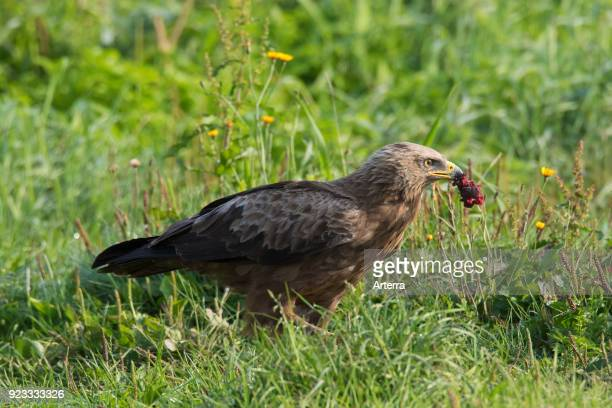 Lesser spotted eagle eating prey migratory bird of prey native to Central and Eastern Europe