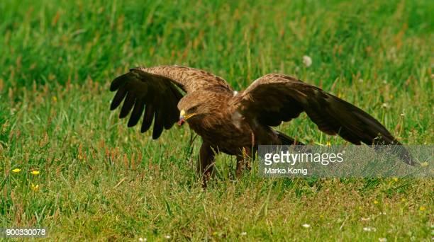 Lesser spotted eagle (Aquila pomarina) eats prey, Feldberger Seen, Mecklenburg-Western Pomerania, Germany