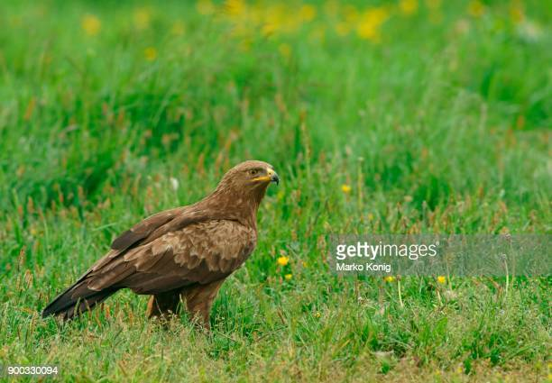 Lesser spotted eagle (Aquila pomarina), Feldberger Seen, Mecklenburg-Western Pomerania, Germany