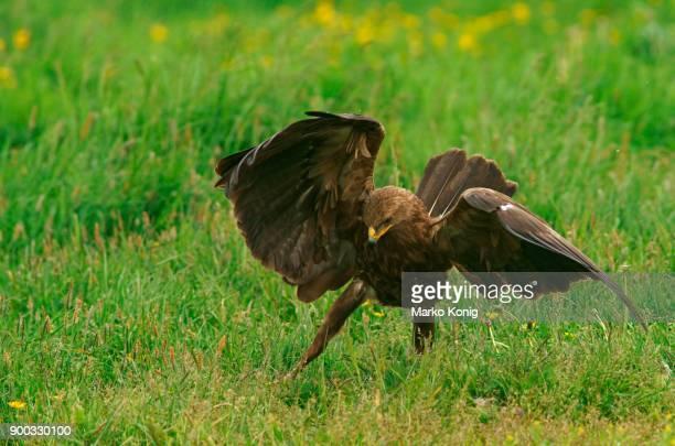 Lesser spotted eagle (Aquila pomarina) Feldberger Seen, Mecklenburg-Western Pomerania, Germany