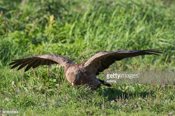 Lesser spotted eagle hunting insects in grassland with spread wings