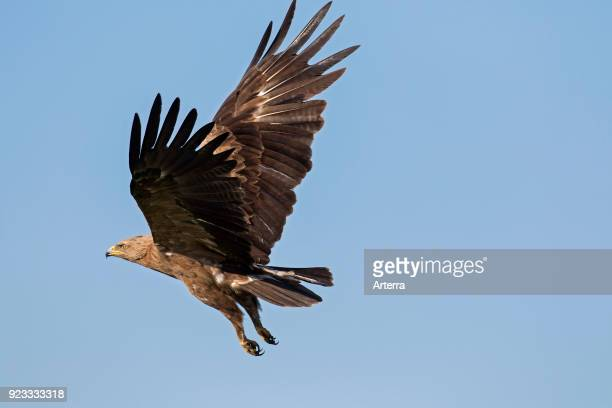 Lesser spotted eagle in flight against blue sky
