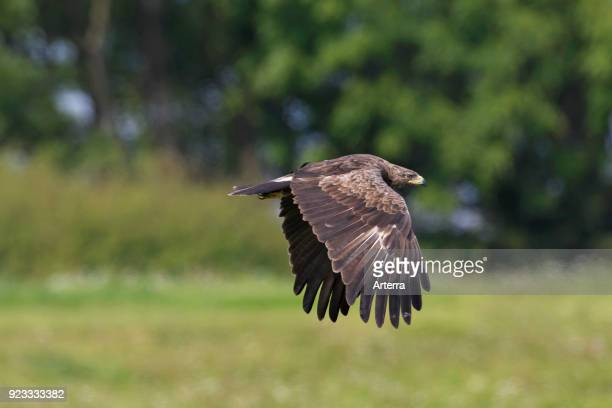 Lesser spotted eagle in flight over grassland at forest's edge