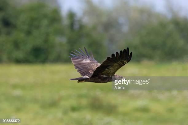 Lesser spotted eagle in flight over grassland