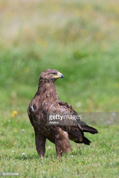 Lesser spotted eagle in grassland migratory bird of prey native to Central and Eastern Europe
