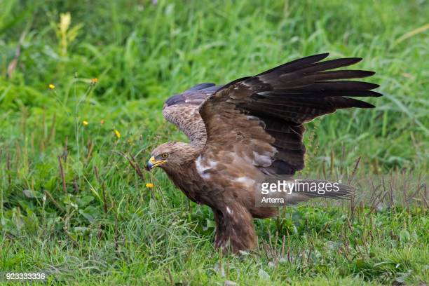 Lesser spotted eagle landing in meadow migratory bird of prey native to Central and Eastern Europe