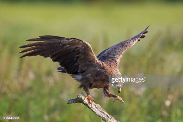 Lesser spotted eagle landing on branch in meadow