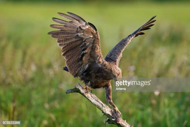 Lesser spotted eagle landing on branch with caught rat in talons