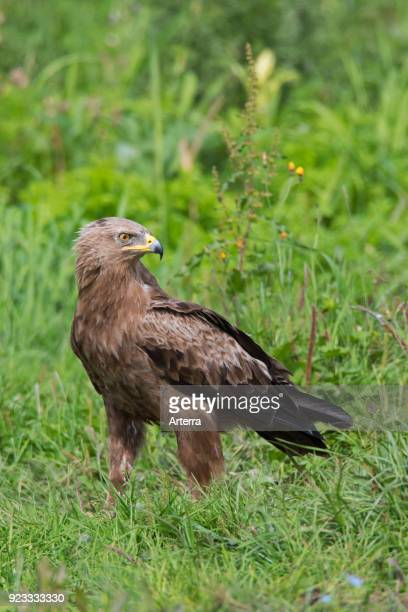 Lesser spotted eagle looking backwards in grassland migratory bird of prey native to Central and Eastern Europe