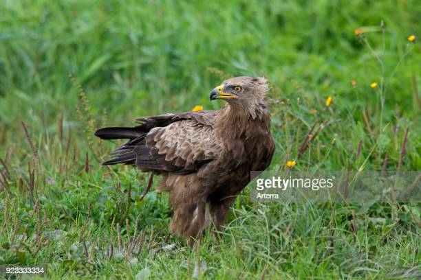 Lesser spotted eagle looking backwards in meadow migratory bird of prey native to Central and Eastern Europe