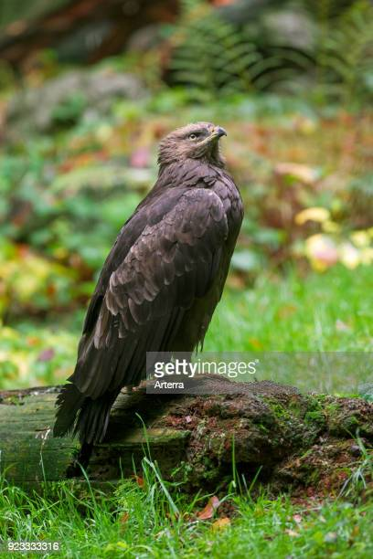 Lesser spotted eagle migratory bird of prey native to Central and Eastern Europe
