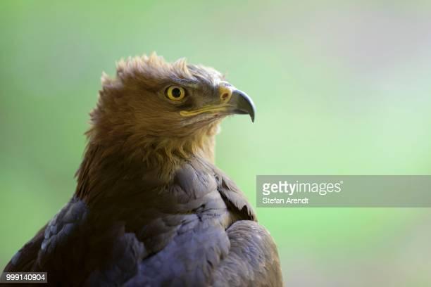 Lesser Spotted Eagle (Aquila pomarina), Neuschoenau outdoor animal enclosure, Bavarian Forest, Bavaria, Germany, PublicGround