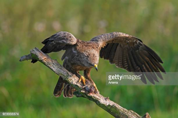 Lesser spotted eagle on branch eating caught rat
