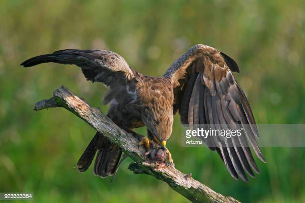 Lesser spotted eagle on branch eating caught rodent