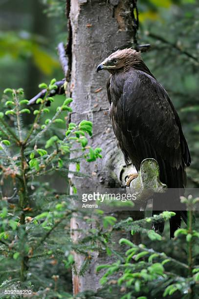 Lesser spotted eagle perched in a tree Europe
