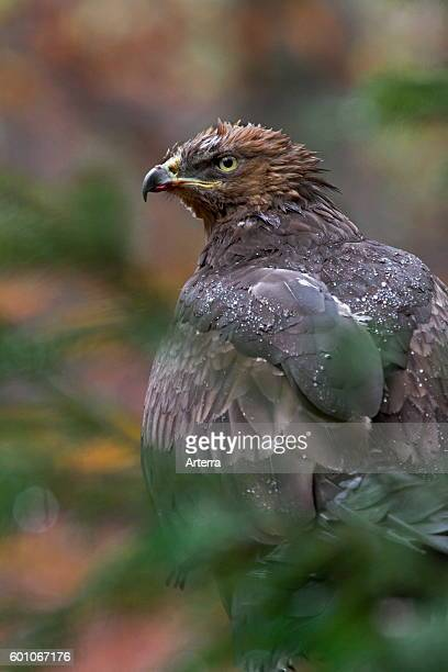 Lesser spotted eagle perched in tree