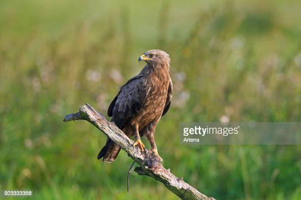 Lesser spotted eagle perched on branch with caught rat in talons