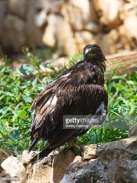 Lesser Spotted Eagle Perching On Rock