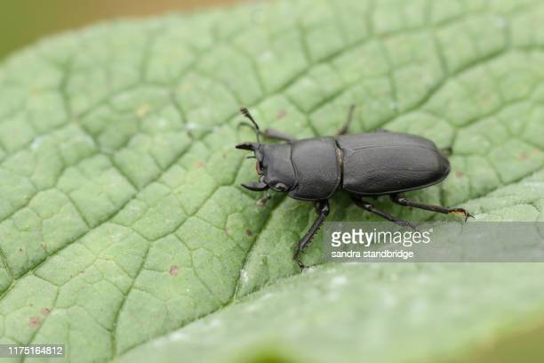 a lesser stag beetle, dorcus parallelipipedus, perching on a leaf at the edge of woodland. - beetles with pincers stock pictures, royalty-free photos & images